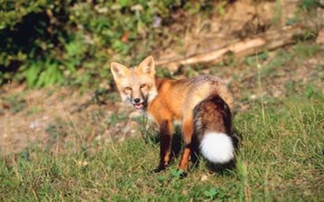 Derry police warn of foxes